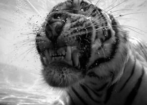 tigreherido